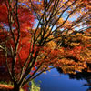 Japanese Maple Trees in Fall Colors 3